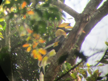 A very long distance shot of the great hornbill.
